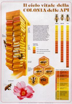 """Poster didattico """"Il ciclo vitale della colonia delle Api"""""""