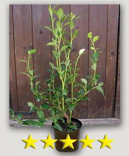 "Mirtillo Americano gigante ""Duke""   1 pianta in vaso cm. 16"