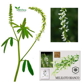 Meliloto officinale Bianco kg. 10  ( melilotus officinalis)