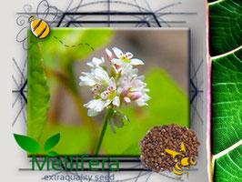 Grano Saraceno in seme