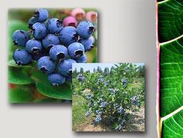 """Mirtillo Americano gigante """"Duke""""   stock 4 piante in vaso cm. 16"""