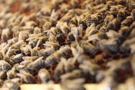 Bienenvolk: Carnica Zander