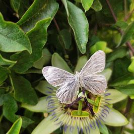 Neu Schmetterlings Ring