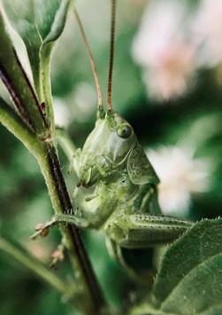 Mister Grasshopper by Ole Bielfeldt