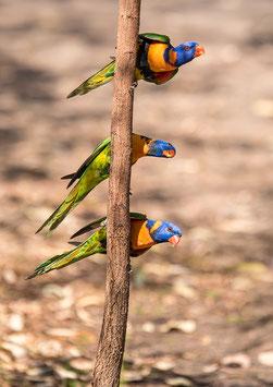 Lorikeets Colors by Muriel Baeriswyl