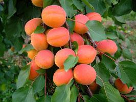 Abricots Orangered