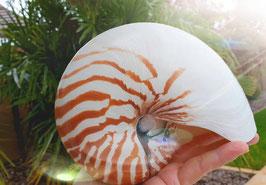 Nautilus getigert ca. 12-13cm