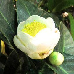 【原種椿】ハイドン 白花