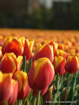Texel Tulpenveld