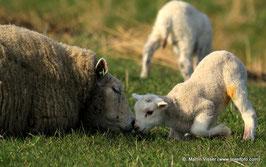 Texels schaap met lammetje