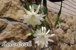 Эпифиллум Lola Leah