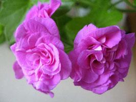 Пеларгония плющелистная Mauve Beauty