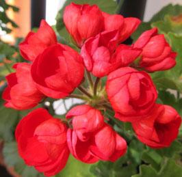Пеларгония тюльпановидная Mrs. Charleys