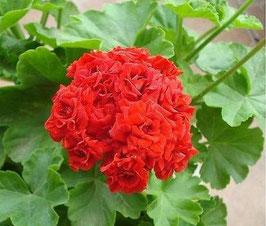 Пеларгония розоцветная Bornholmpelargon