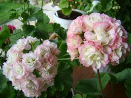Пеларгония розоцветковая April Snow