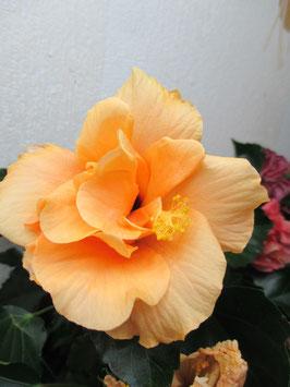 Гибискус Гавайский желтый