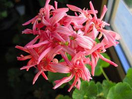 Пеларгония кактусовидная Coronia