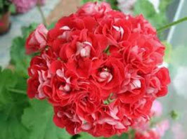 Пеларгония розоцветная Rosebud Supreme