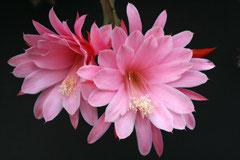 Апорокактус Priscilla