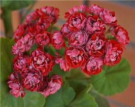 Пеларгония розоцветная Cook s Scarlet and White