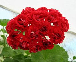 Пеларгония розоцветная Кenny s Вouble