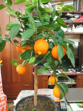 Красный Лайм ( Фото нашего материнского растения)