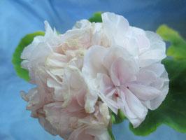 Пеларгония розоцветная Highfields Sugar Candy