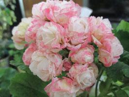 Пеларгония розоцветная Fischers Appleblossom