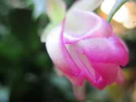 "Шлюмбергера ""розоцветковая"" Rose Garden"