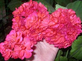Пеларгония розоцветная Dodds Super Double