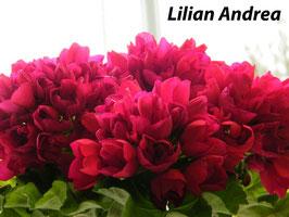 Пеларгония тюльпаноцветковая  Lilian Andrea