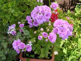 Пеларгония плющелистная  PAC Lilac Rose