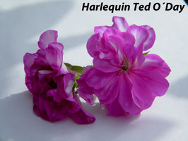 Пеларгония плющелистная Harlequin Ted O Day