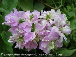 Пеларгония плющелистная Green Eyes