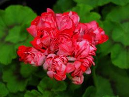 Пеларгония розоцветная Brightstone