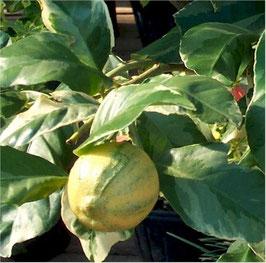 Citrus Medico variegata , Цитрон пестролистный