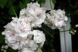 Пеларгония плющелистная PAC White Pearl