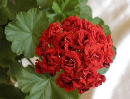 Пеларгония розоцветная Diemierii Schafferi