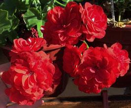 Пеларгония Dancing Idols Red