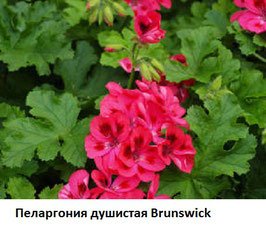 Пеларгония душистая Brunswick