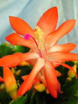 Декабрист Orange Snow