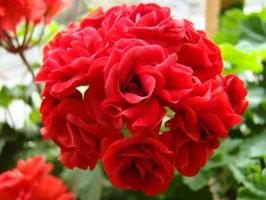 Пеларгония розоцветная Leufsta