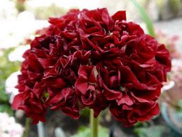 Пеларгония розоцветная Black Pearl