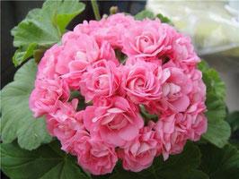 Пеларгония розоцветная Australian Pink Rosebud