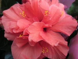 Гибискус Гавайский розовый