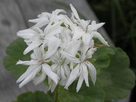 Пеларгония кактусовидная Noel