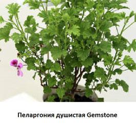 Пеларгония душистая Gemstone