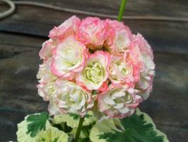 Пеларгония розоцветная Westdale Appleblossom