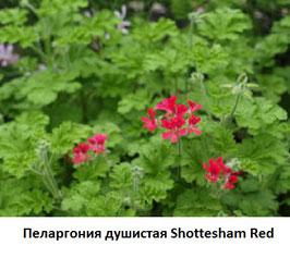 Пеларгония душистая Shottesham Red