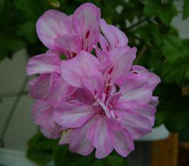Пеларгония плющелистная Harlequin Hilda Day